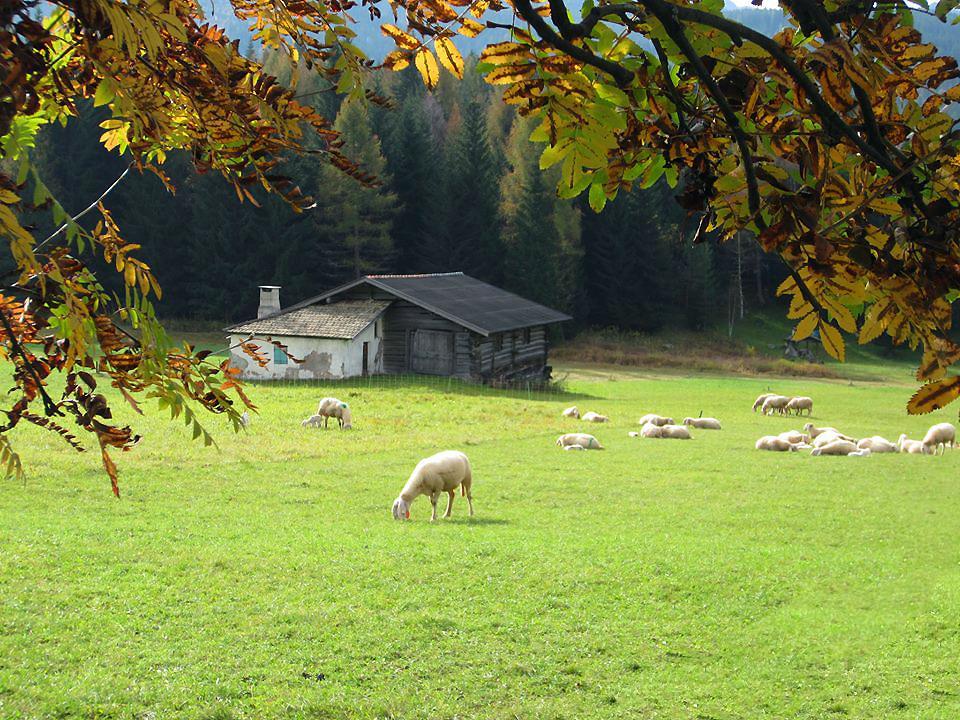 bellamonte--pecore